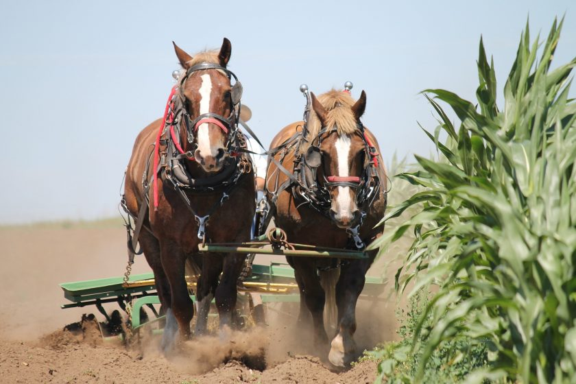 Tagesablauf auf dem Gut - Pferde bei der Feldarbeit